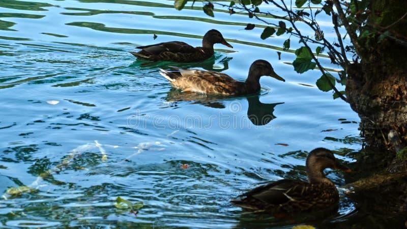 在Plitvice湖的鸭子在克罗地亚 图库摄影
