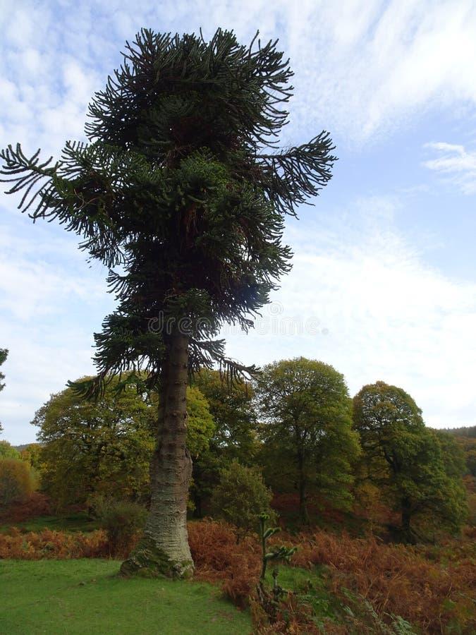 在Powerscourt瀑布附近的大树在都伯林附近的威克洛山在爱尔兰 免版税图库摄影