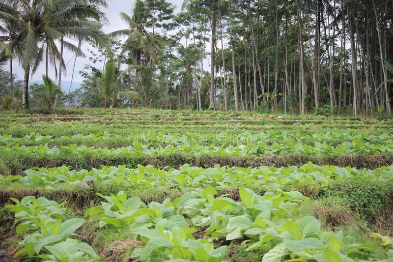 在probolinggo,印度尼西亚的烟草田 免版税图库摄影