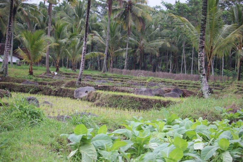 在probolinggo,印度尼西亚的烟草田 图库摄影