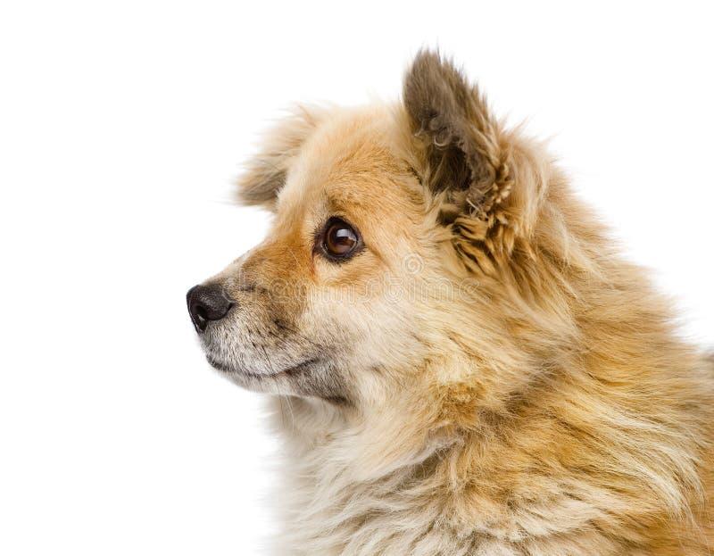 在profil的顶头混杂的品种小狗 背景查出的白色 库存照片