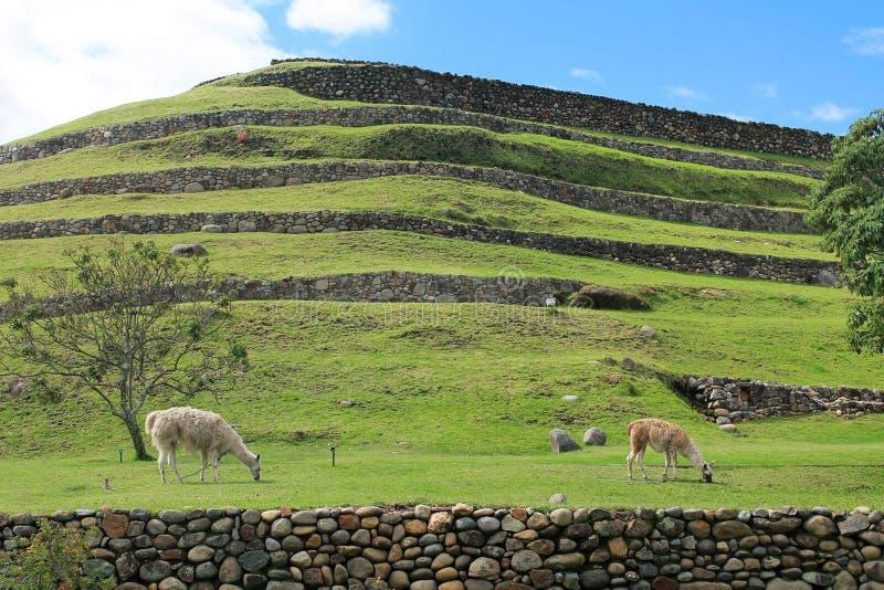 在Pumapungo公园的骆马在昆卡省,厄瓜多尔 库存照片