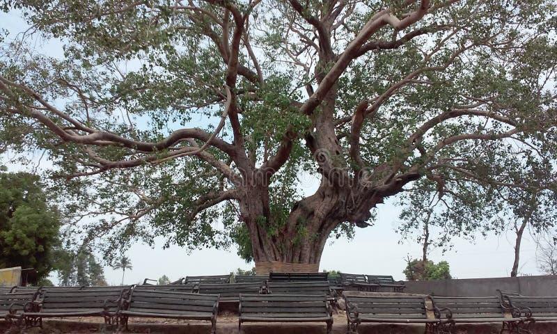 在rameshwar mahadev寺庙的大榕树 免版税库存图片