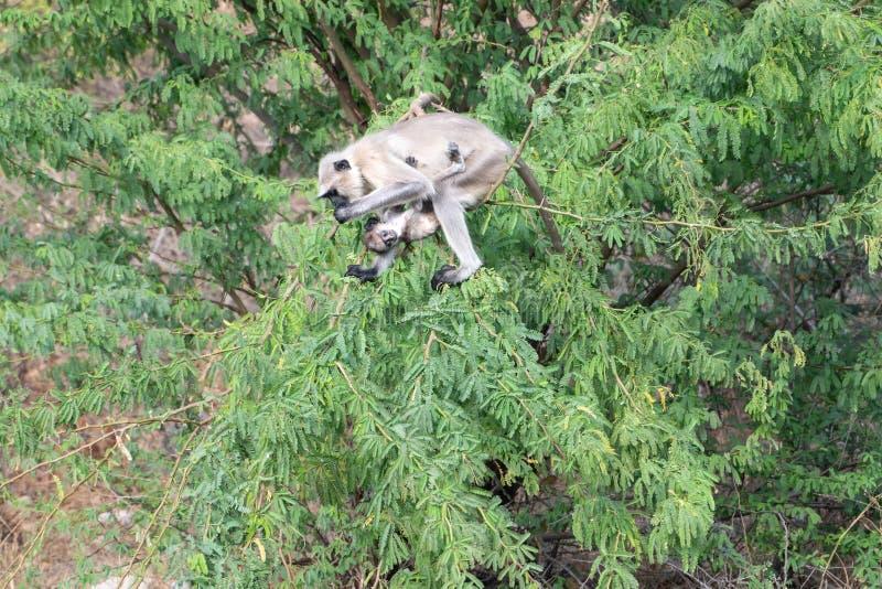 在ranakpur水坝的野生猴子 免版税库存图片
