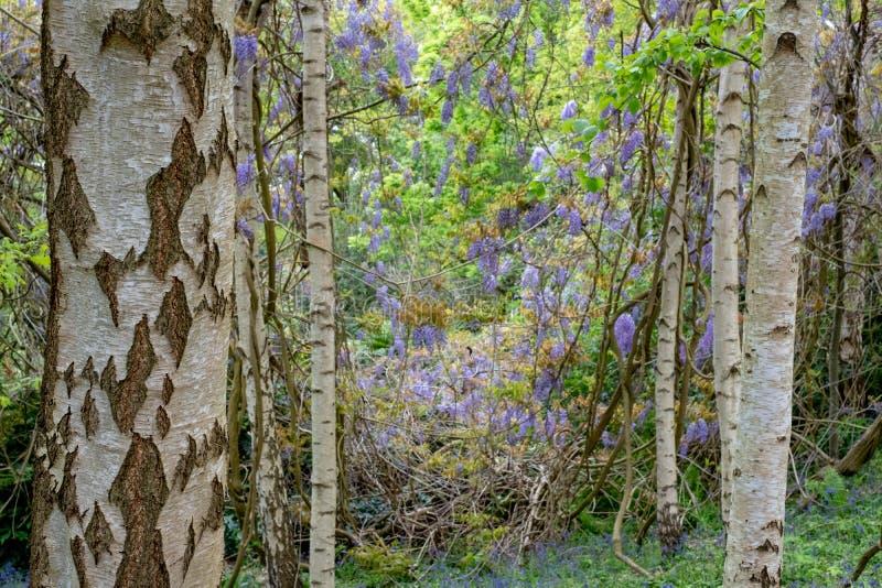 在RHS Wisley,皇家园艺学会的旗舰庭院,萨里,英国的紫色开花的紫藤 免版税库存图片