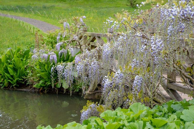 在RHS Wisley,皇家园艺学会的旗舰庭院,萨里,英国的紫色开花的紫藤 免版税库存照片