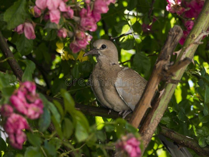 在rosebush的Turtledove 免版税库存图片