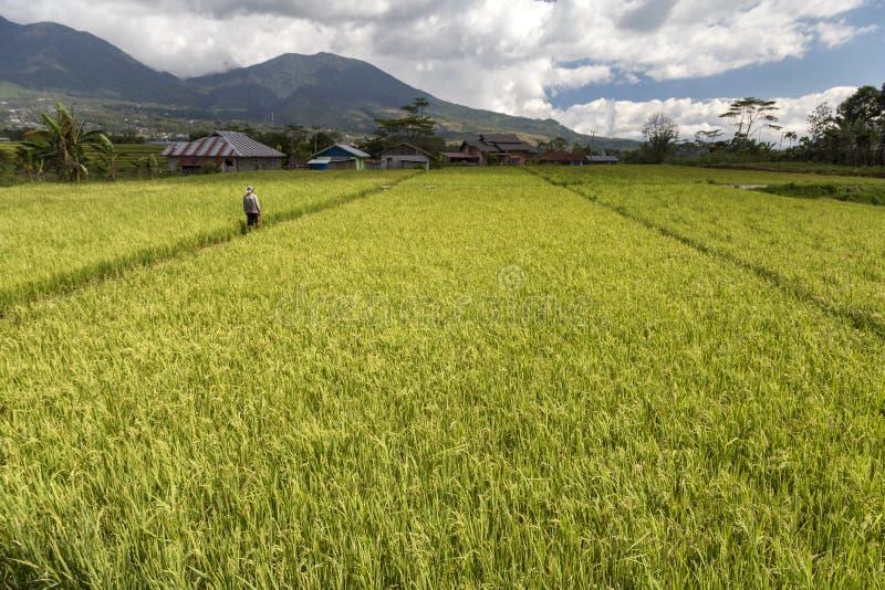 在Ruteng附近的绿色米领域在弗洛勒斯,印度尼西亚 免版税库存图片