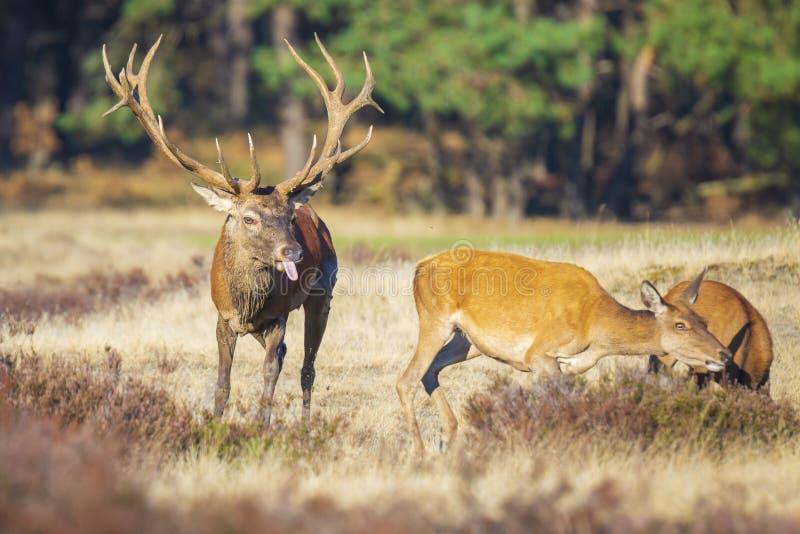 在rutting季节期间,马鹿鹿elaphus雄鹿追逐做 免版税库存照片