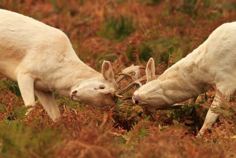 在rutting季节的小鹿 免版税库存照片