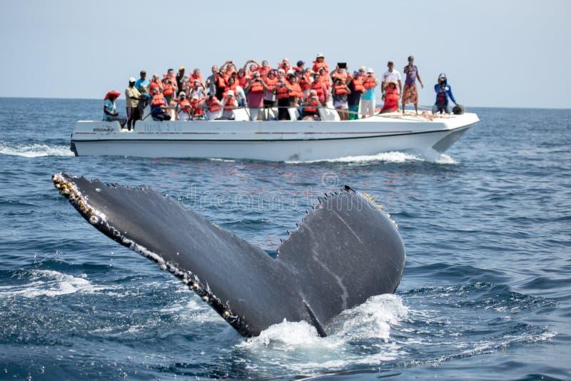 在Samana、多米尼加共和国和torist郑在的驼背鲸尾巴 免版税库存照片