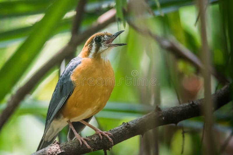在sanctury Thattekkadu的鸟的橙色带头的地面鹅口疮 库存照片