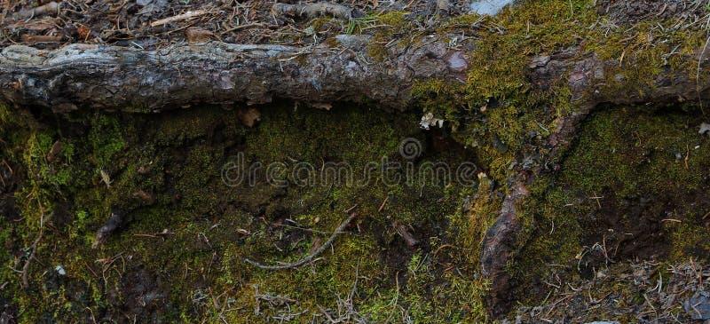 在sandia山新墨西哥的青苔盖的下落的树 库存图片