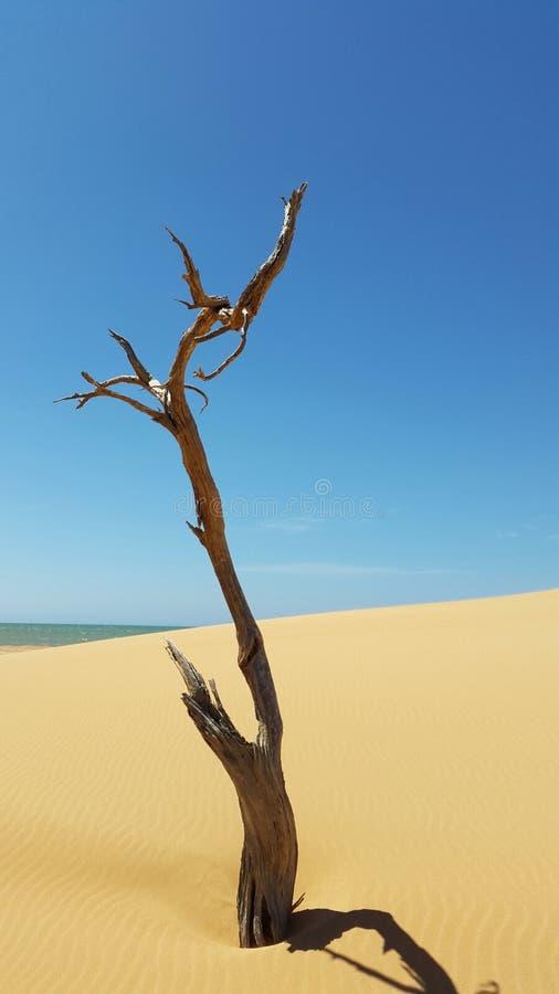 在sandunes的树干在海旁边 免版税图库摄影