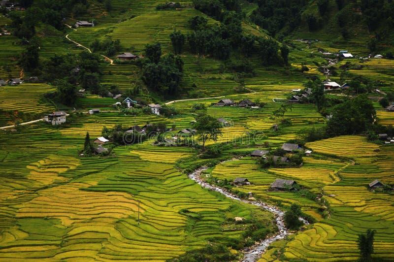 在Sapa,越南附近的稻米 库存图片