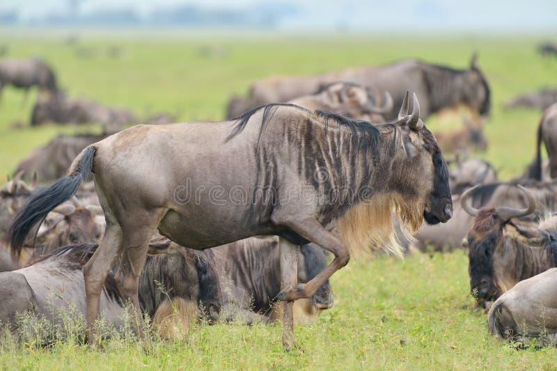 在savana的牛羚羚羊 库存照片