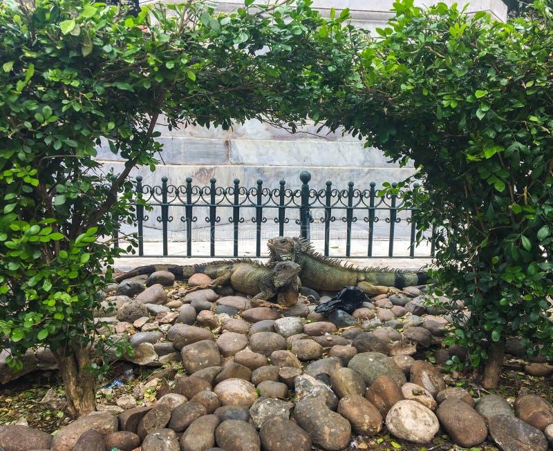 在Seminario公园,瓜亚基尔厄瓜多尔的两只爱情鸟鬣鳞蜥 库存照片