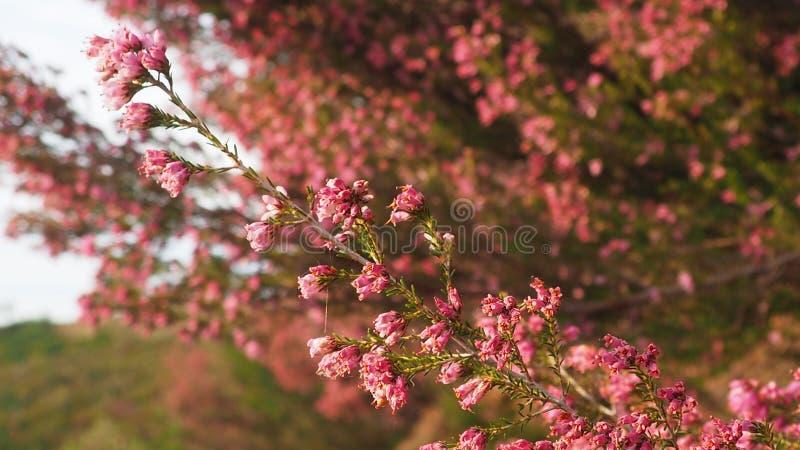在serra da estrela的美丽的桃红色野花 免版税库存图片