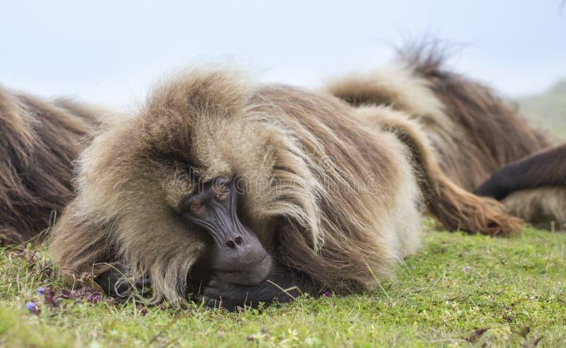 在Simien山的Gelada狒狒,埃塞俄比亚 图库摄影