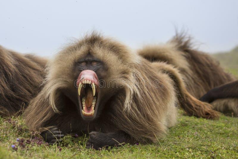 在Simien山的Gelada狒狒 免版税图库摄影