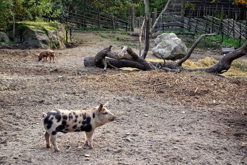 在Skansen、一个露天博物馆和动物园的呈杂色的小猪在斯德哥尔摩瑞典 库存图片