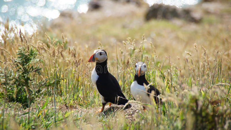 在Skomer海岛上的海鹦 免版税库存照片