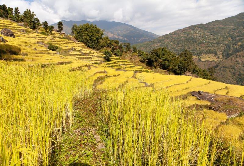 在Solukhumbu谷的金黄露台的米领域 图库摄影