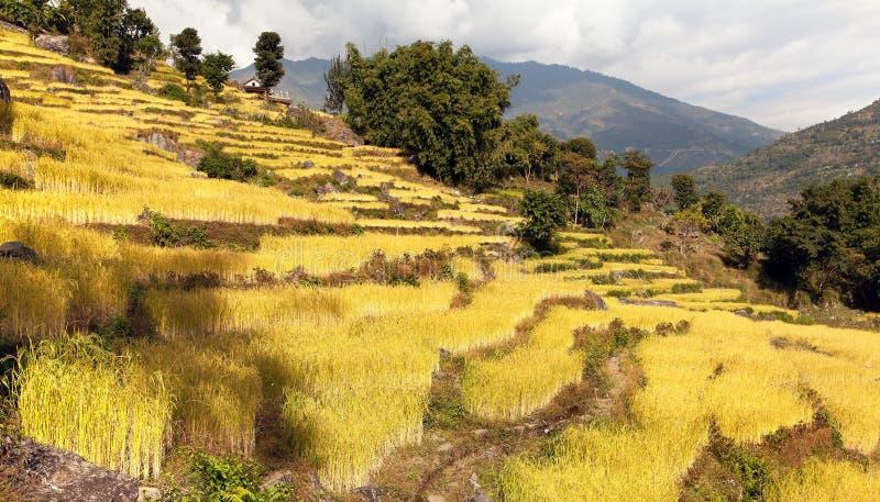 在Solukhumbu谷,尼泊尔的金黄露台的米领域 库存图片
