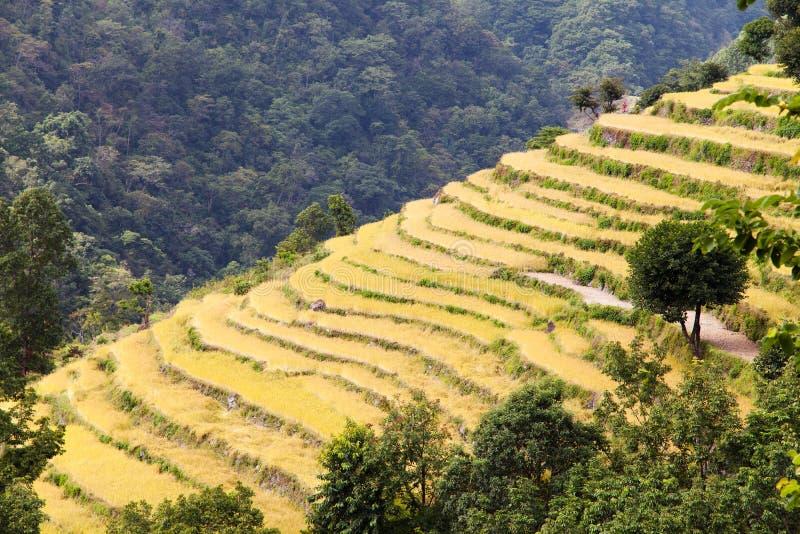 在Solukhumbu谷,尼泊尔的金黄露台的米领域 免版税库存图片