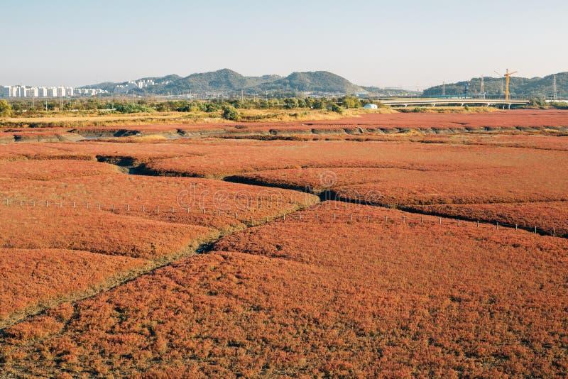 在Sorae生态沼泽地公园的秋天芦苇领域在仁川,韩国 库存照片