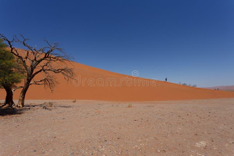 在sossusvlei纳米比亚的沙丘45与死的树 库存照片