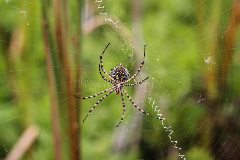 在spiderweb的蜘蛛 库存图片