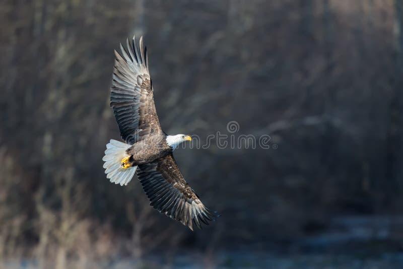 在Squamish不列颠哥伦比亚省附近的高昂白头鹰 免版税图库摄影