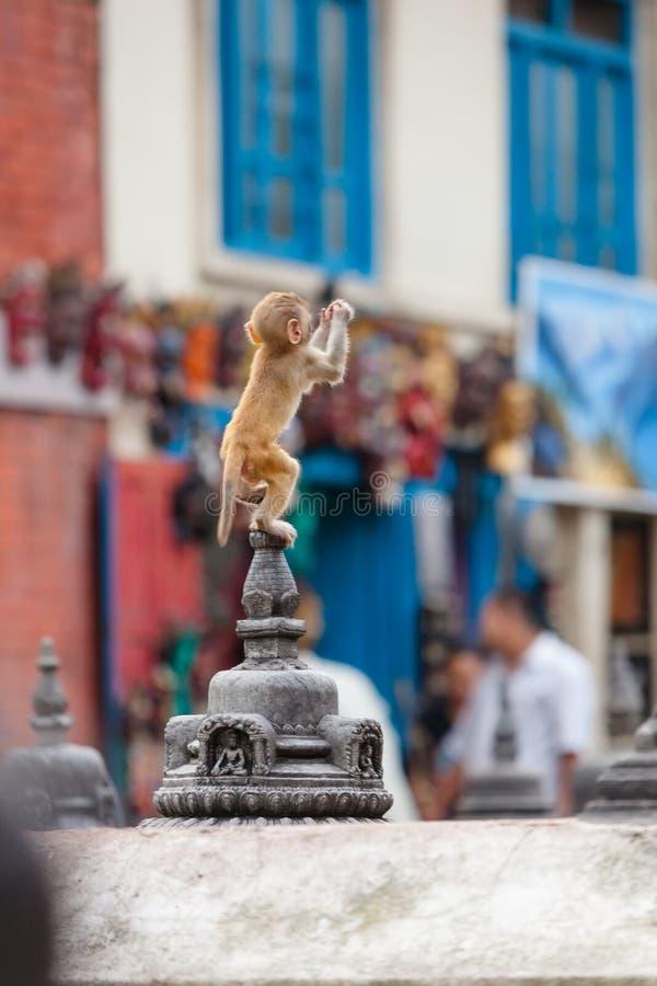 在Svayambunath寺庙的猴子 免版税库存图片
