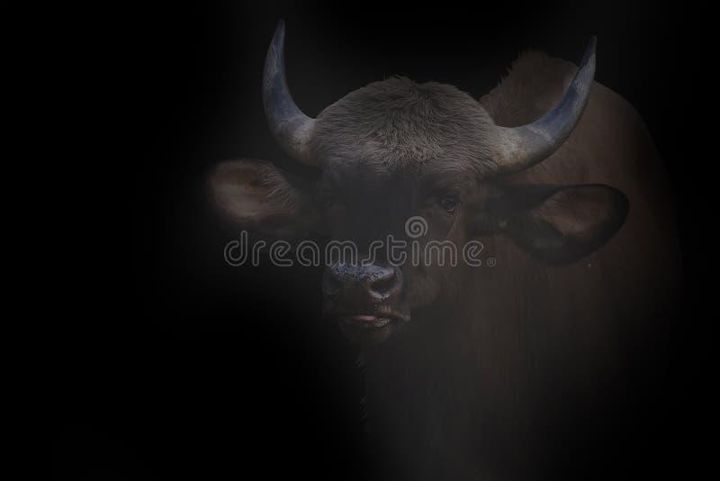 在Tadoba老虎储备的印度北美野牛Gaur 免版税库存图片
