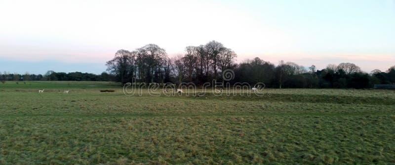 在Tatton公园的日落有鹿在背景中- Tatton公园庭院牧群的  图库摄影