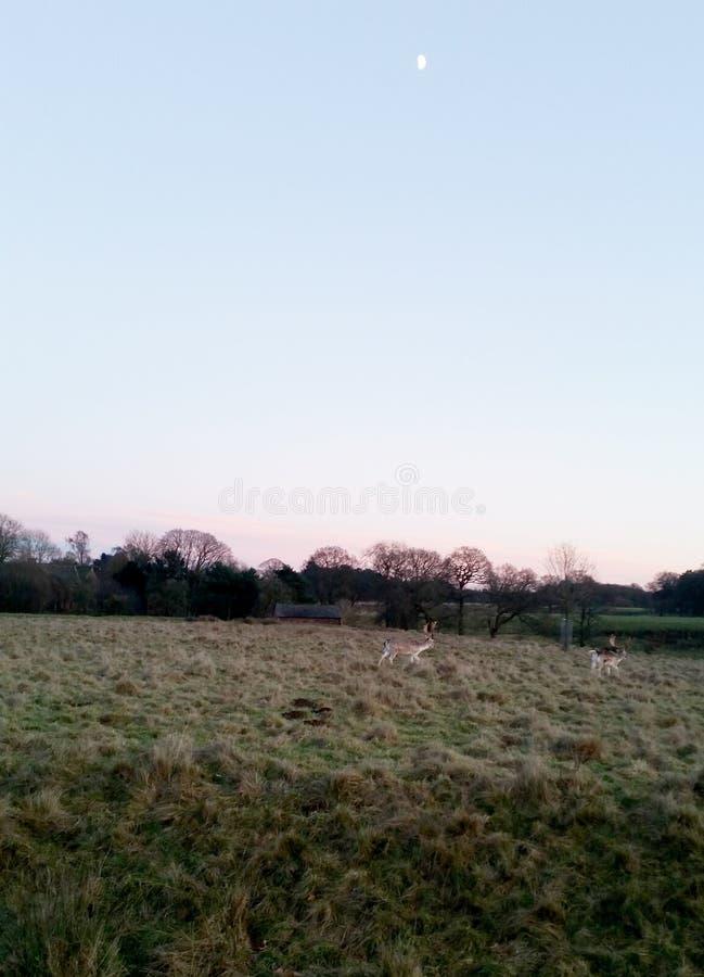 在Tatton公园的日落有鹿在背景中- Tatton公园庭院牧群的  免版税库存照片
