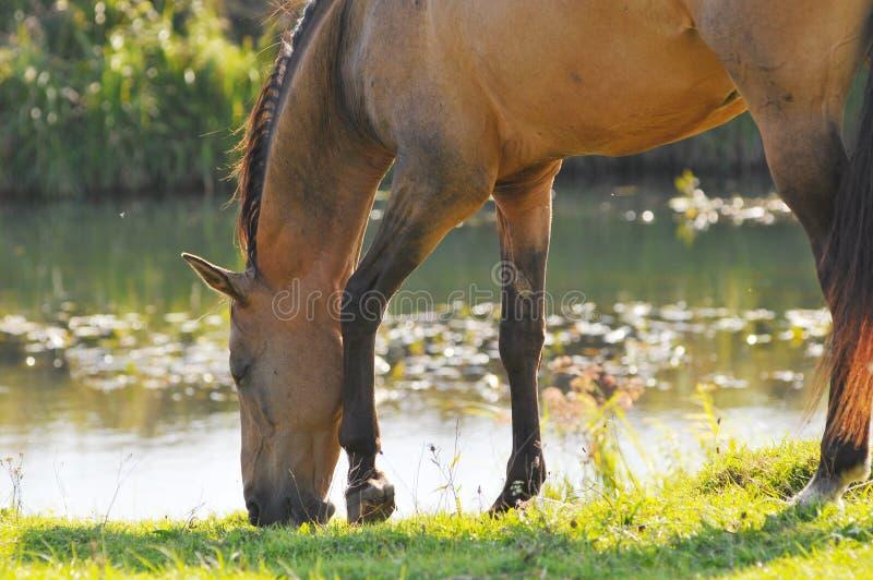 在teke水附近的akhal吃草的马 免版税库存图片