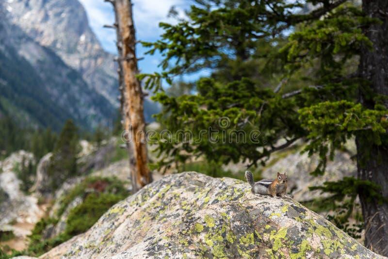 在Teton谷的花栗鼠 库存图片