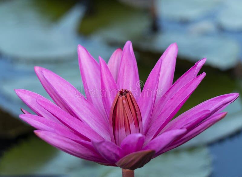 在Thalenoi湖Phatthalung,泰国的红色莲花 免版税库存图片