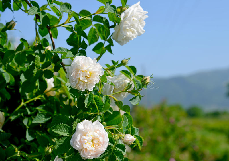 在Thracian谷的著名玫瑰色领域在Kazanlak附近 免版税图库摄影