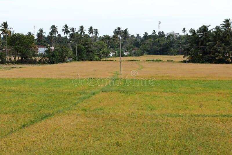 在Tissamaharama的米领域在斯里兰卡 库存照片