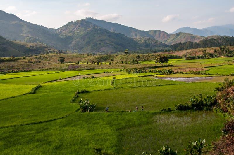 在Tolagnaro附近的绿色米领域 免版税库存照片