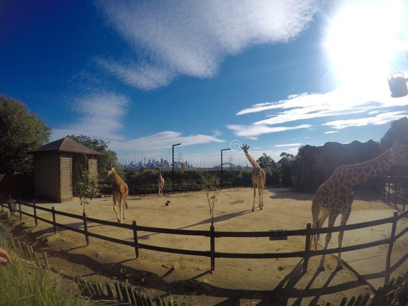 在toranga动物园的长颈鹿 图库摄影