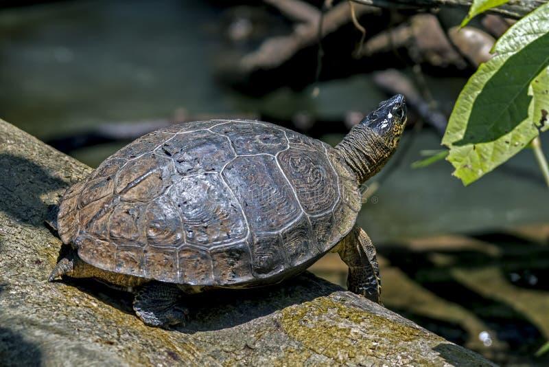 在Tortuguero -哥斯达黎加的河乌龟 库存照片