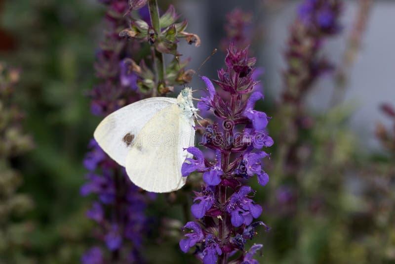 在totalview的大粉蝶坐淡紫色贤哲 图库摄影