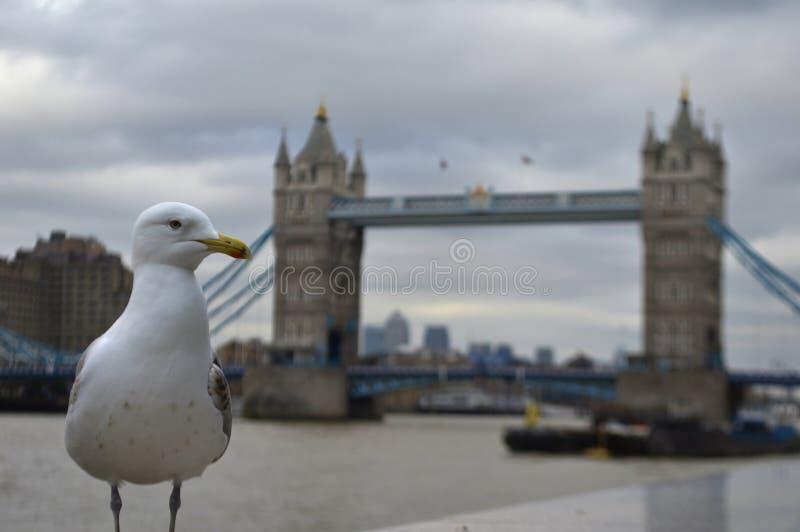 在Towerbridge附近的海鸥 库存照片