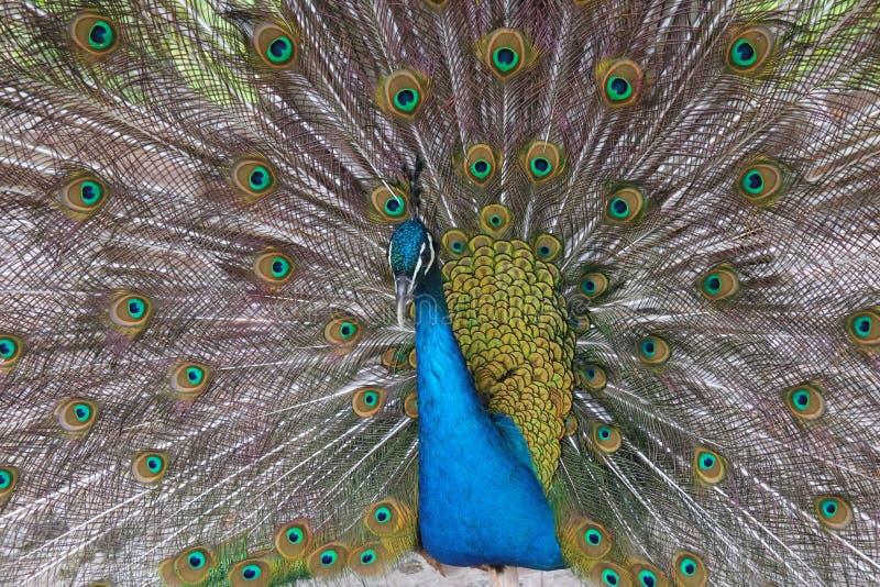 在transylwania的孔雀画象在罗马尼亚 库存图片