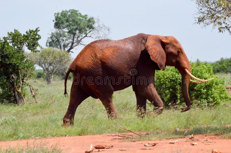 在Tsavo东部公园大草原的红色大象在Keny 免版税库存图片