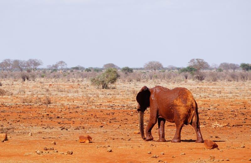 在Tsavo东部肯尼亚waterhole的泥穿的大象  免版税库存照片